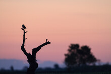 Silhouette Of Little Owl Perch...