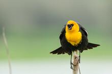 Common Blackbird Calling On Branch