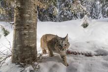 Portrait Of Bobcat Walking On Snowy Landscape