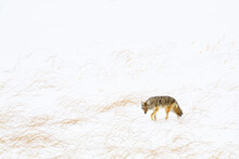 Coyote Walking On Snowy Landscape In Yellowstone National Park