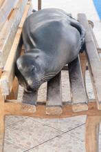 Galapagos Sea Lion Sleeping On Bench At Pier In Galapagos Islands