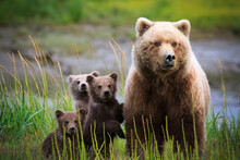 Brown Bear With Cubs In Lake Clark National Park And Preserve