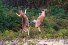 Forester Kangaroos Fighting On Grassy Landscape