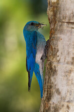 Close Up Of Mountain Bluebird With Prey Perching On Nest