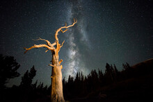 Scenic View Of Bristlecone Pine Against Milky Way In Mount Goliath Natural Area