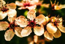 Close Up Of Plum Flowers Blossom