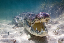 Portrait Of American Crocodile...