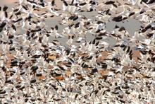 Flock Of Snow Geese Flying Dur...