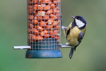 Close Up Of Great Tit Feeding ...