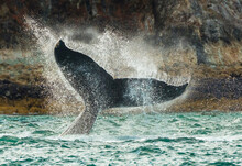 Humpback Whale Raising It Tail In Sea