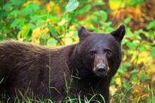 Portrait Of American Black Bear