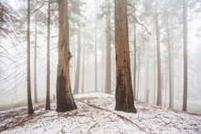 Snow Amongst Large Trees In Sequoia National Park