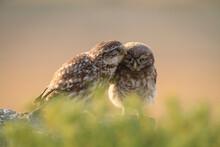 Little Owl Preening Owlet
