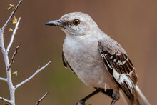 Close Up Of Northern Mockingbird Perching On Branch