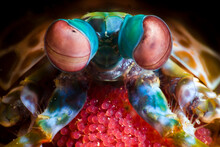 Close Up Of Mantis Shrimp Guarding Her Eggs