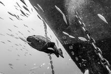 Atlantic Goliath Grouper Swimm...