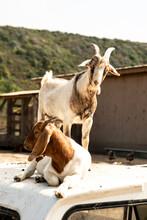 Goats In Barnyard