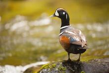 Harlequin Duck Perching On Rock