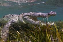 American Crocodile Swimming In Sea