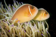 Close Up Of Clownfish
