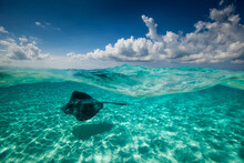 Southern Stingray Fish Swimmin...