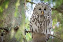 Portrait Of Ural Owl