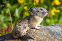Close Up Of Pika Sitting On Rock