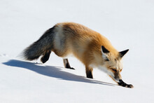 Red Fox Searching Dinner In Winter At Hayden Valley Of Yellowstone