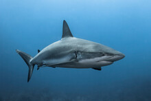 Portrait Of Caribbean Reef Sha...