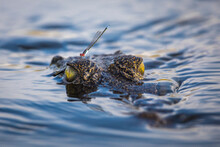 Close Up Of Damselfly Perching On Nile Crocodile In Okavango Delta