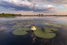 View Of Water Lily Blooming In Water During Sunset