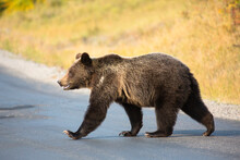 Grizzly Bear Crossing Road In Glacier National Park