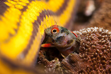 Close Up Of Mexican Barnacle Blenny Biting Starfish Underwater