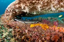 Caribbean Reef Shark Resting Under Coral Reef Underwater