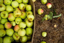 Overhead View Of Apples In Carton