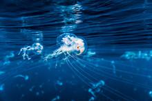 Close Up Of Jelly Fish Swimmin...