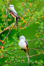 Close Up Of Scissor Tailed Flycatcher Perch On Huisache Tree