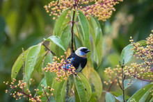 Golden Hooded Tanager Perching On Tree