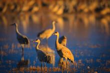 Sandhill Cranes In Bosque Del ...