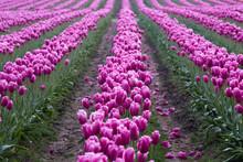 Tulips Growing In Field