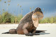 Portrait Of Allen Cays Rock Iguana Sitting On Beach