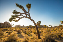 View Of Joshua Trees On Desert Landscape During Sunset