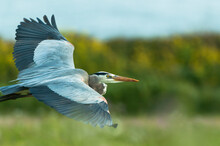 Close Up Of Great Blue Heron F...
