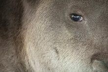 Portrait Of Baird's Tapir