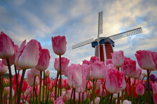 View Of Tulips With Windmill In Background