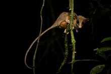 Portrait Of Mexican Mouse Opossum On Branch