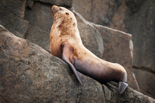 Sea Lion Resting On Rock