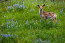 Portrait Of Mule Deer Standing On Grassy Landscape