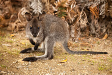 Portrait Of Bennett's Wallaby Standing In Forest