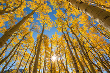 Low Angle View Of Aspen Trees